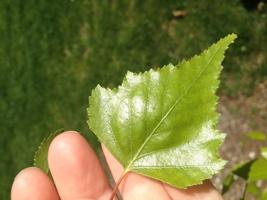 A perfect Birch Leaf