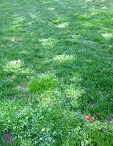yellow spots lawn turf grass massachusetts cape cod spring lawn care